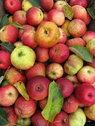 Diversite_de_pommes